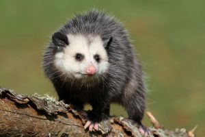 Deleware Valley Possum